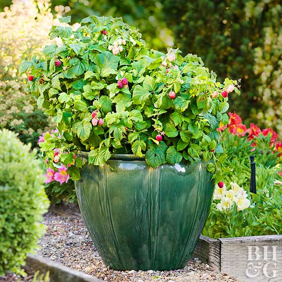 How to Grow Berries in Containers