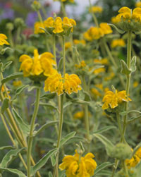 Yellow jerusalem sage