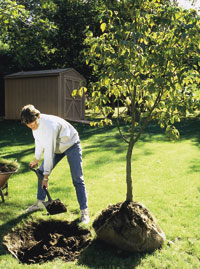 Planting balled and burlapped trees