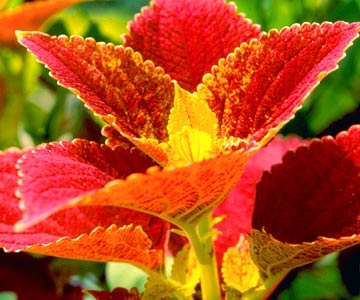 GardenFoliage_Closeup Of Plant With Red and Yellow Leaves
