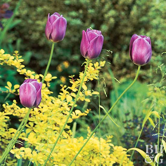 purple tulips and bright yellow foliage