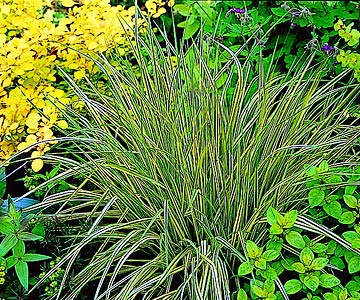 GardenFoliage_Yellow Green Straw Grass With Yellow and Green Foilage Surrounding