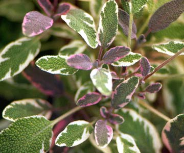 GardenFoliage_Closeup Of Green and Purple Leaves With White Edge
