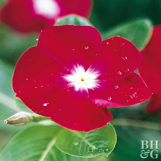 Catharanthus 'Jaio Dark Red' vinca
