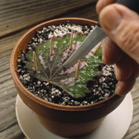 Leaf Cuttings, rex begonia