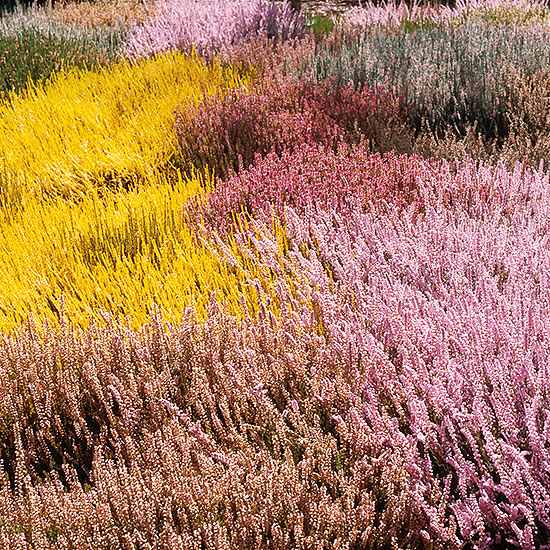 prairie of heather in variety of colors