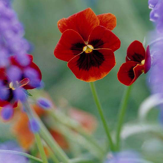 Red Pansies And Purple Larkspur