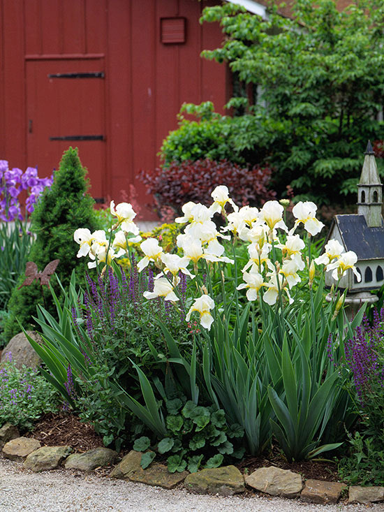 How To Grow Maintain And Divide Bearded Iris Better