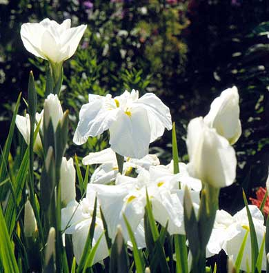 White Japanese Irises