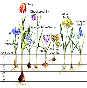 Spring Bulb Planting Depth Chart Part 1