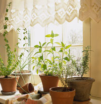 indoor herbs in front of window