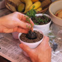 potting herb