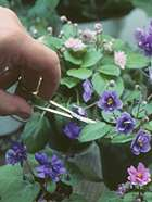 Pruning African Violets