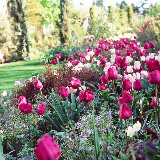 Pink and white tulips in a garden