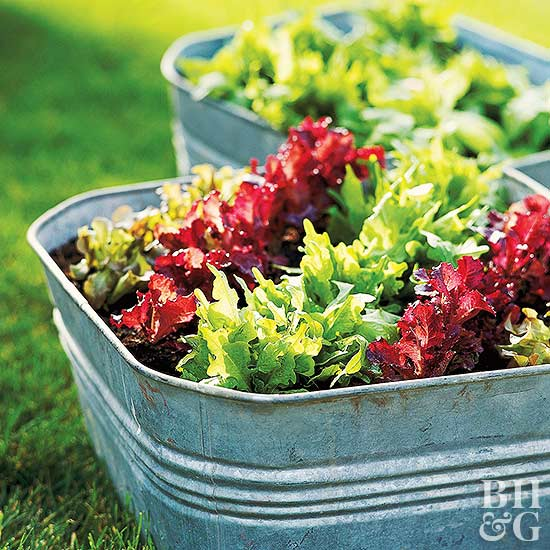 tubs with green and dark red lettuces