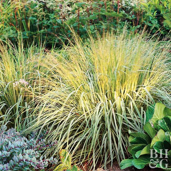 Molinia Caerulea ornamental grass