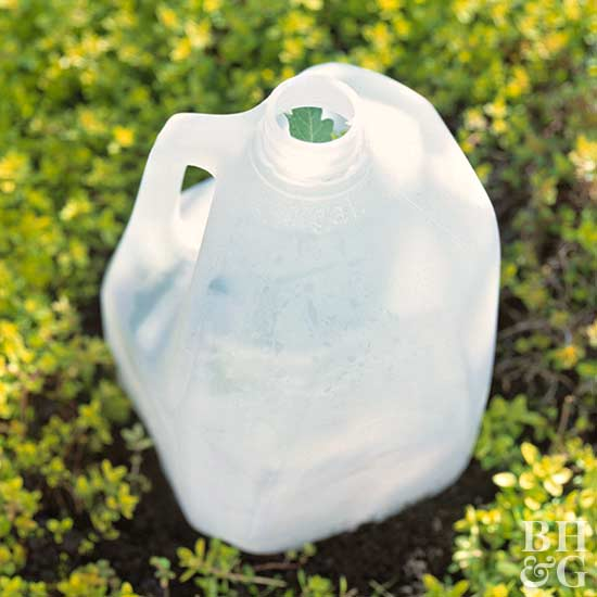 milk jug over tomato plant