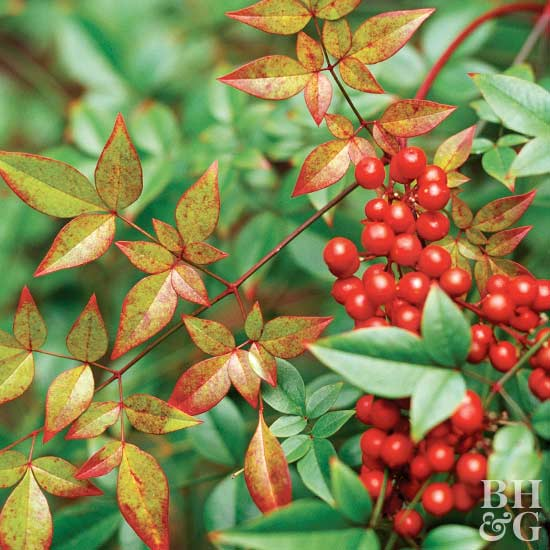 'Fire Power' heavenly bamboo Nandina domestica