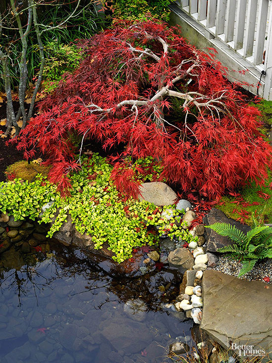 Japanese maple by pond