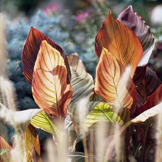 Canna and ornamental grass