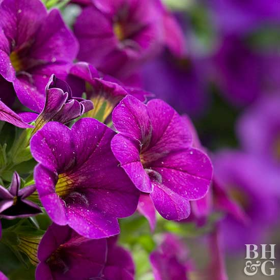 Calibrachoa 'Cabaret Purple Glow'