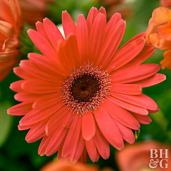 Gerbera 'Revolution Red' Daisy