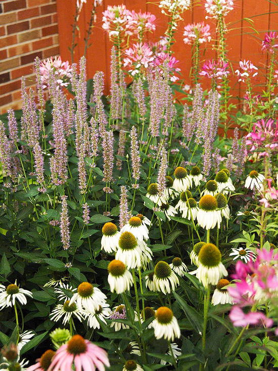 coneflower, anise hyssop, cleome, and spider flower, purple and white flowers