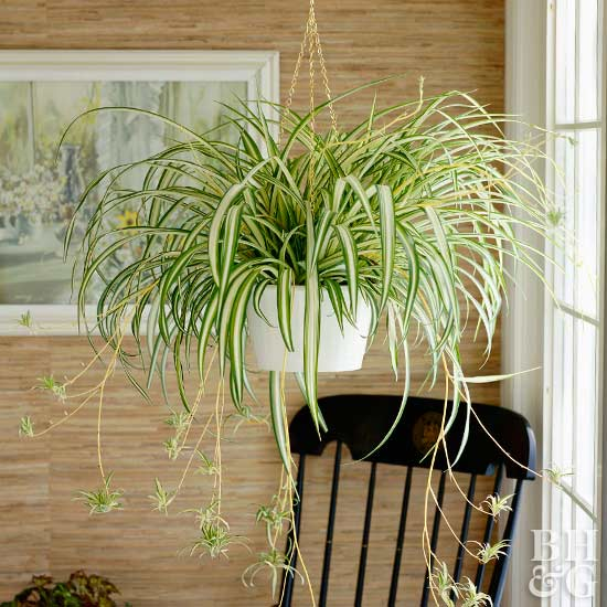 Hanging spider plant near window