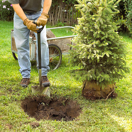 Planting a tree or shrub