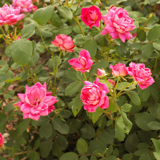 Rosa Double Pink Knock Out