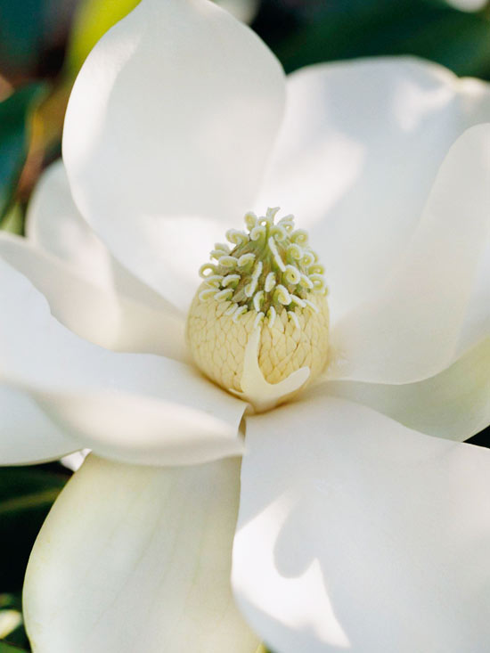 'Little Gem' magnolia (Magnolia grandiflora 'Little Gem')