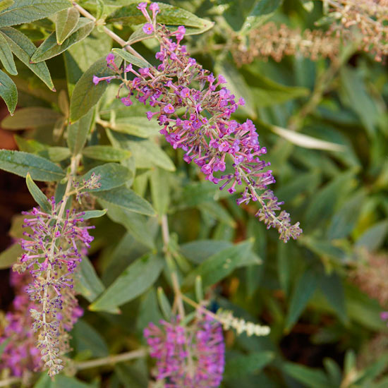 Buddleja 'Purple Haze'