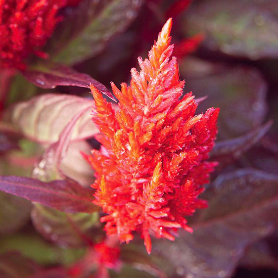 Celosia 'New Look'