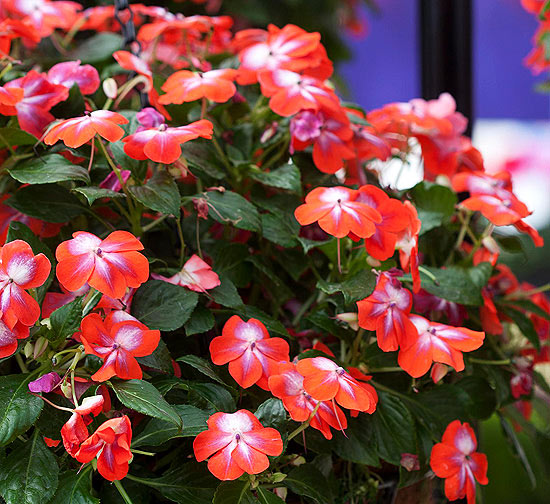 Impatiens 'Patchworks Cosmic Orange'