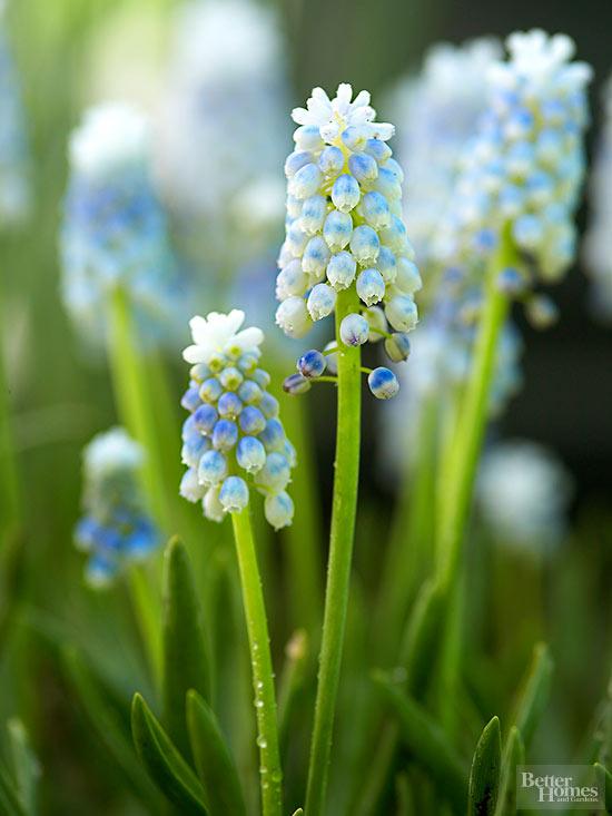 Grape hyacinth, hyacinth