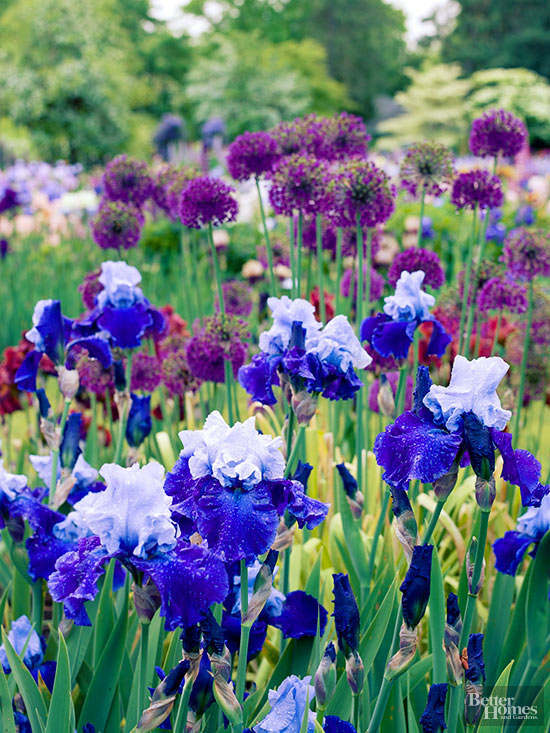 purple allium and bi-colored bearded iris