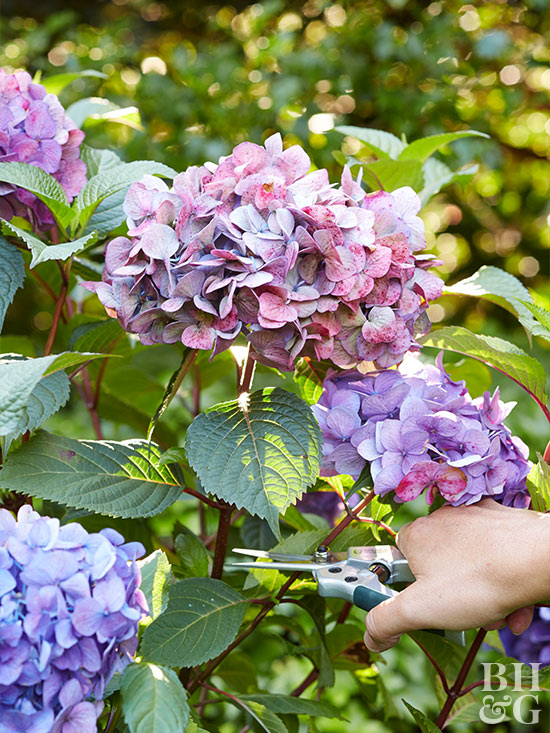 Cutting Purple Hydrangea