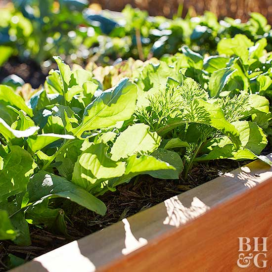 container garden with lettuce varieties