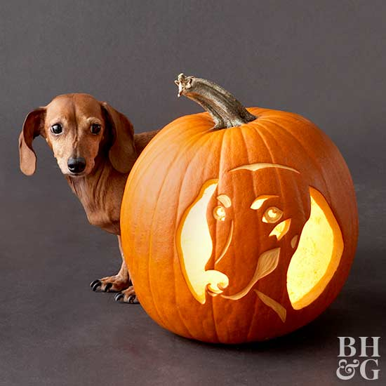 dachshund with carved pumpkin