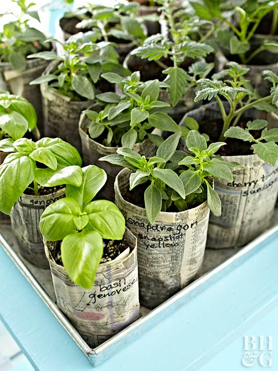 paper pots with seedlings