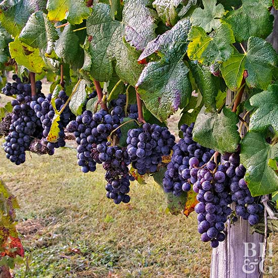 How to Grow Grapes | Better Homes & Gardens
