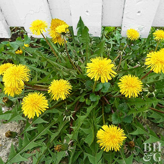 dandelions, weeds, removing weeds