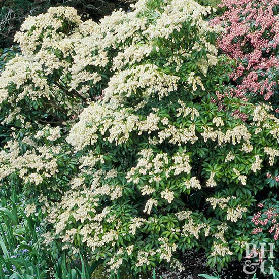 Pieris japonica 'Bert Chandler'
