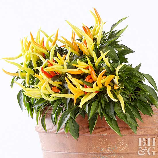 Ornamental Pepper in pot