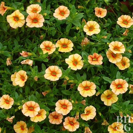 Calibrachoa Can-Can Apricot