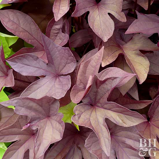 Ipomoea Sweet Caroline Red sweet potato vine