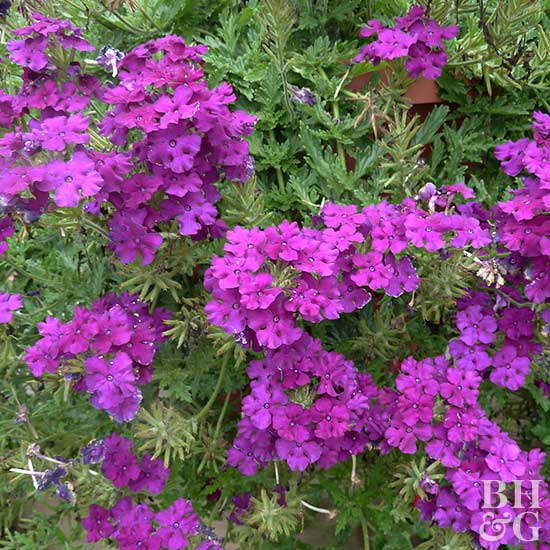 Verbena Aztec Plum Magic