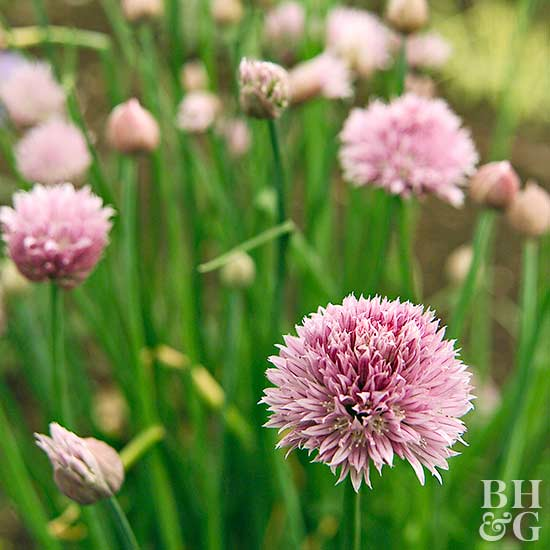 cluster of chives