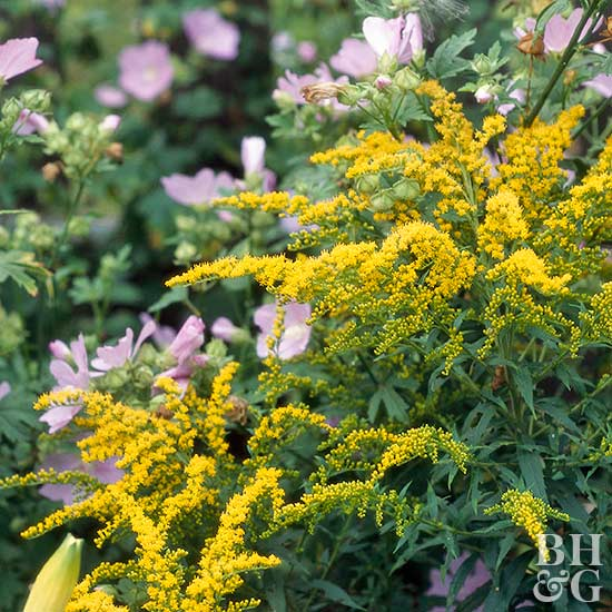 goldenrod Solidago 'Goldenmosa'